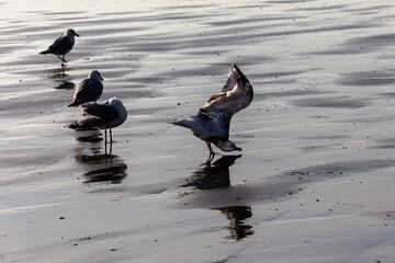 Les Oiseaux de la Mer du Nord