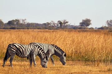 Papiers peints Zebra zebra in the savannah