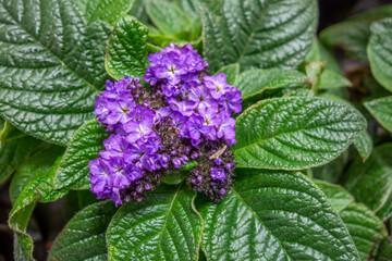 violet flower head closeup