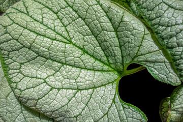 bicolor leaves closeup