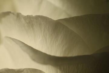 Fototapeta Biała róża płatki makro
