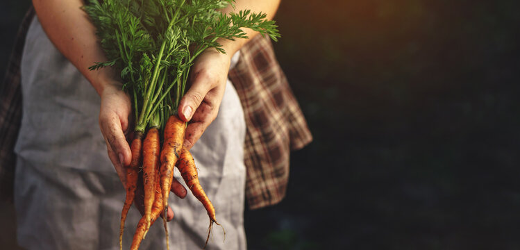 Farmers holding fresh carrots in hands on farm at sunset. Woman hands holding freshly bunch harvest. Healthy organic food, vegetables, agriculture, close up, toning