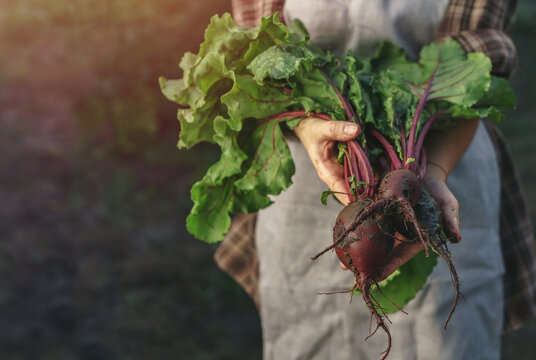 Farmers holding fresh beetroot in hands on farm at sunset. Woman hands holding freshly bunch harvest. Healthy organic food, vegetables, agriculture, close up