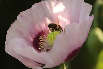 fioletowy  kwiat  maku  i  dziki  owad  w  blasku  słońca