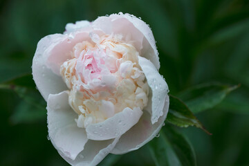 Foto op Canvas Lelie White peony with water drops after rain in summer garden.
