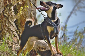 The German Pinscher is a medium-sized breed of dog. Dog on a leash.