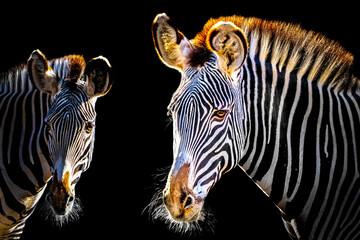 Foto auf Acrylglas Zebra two zebras looking ahead