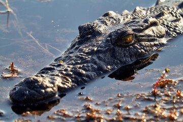 Photo sur Plexiglas Crocodile Crocodile in the water, Botswana