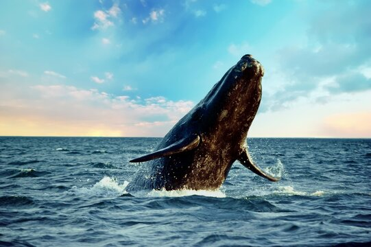 Majestic southern right whale, Patagonia Argentina