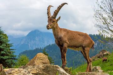 Alpensteinbock - Steinbock - Allgäu - wild