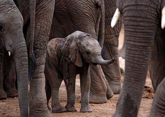 Baby Elephant (Loxodonta africana) Sheltered among the Grown Ups. Kruger Park, South Africa