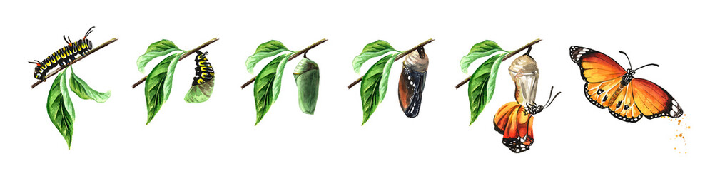 Butterfly metamorphosis development stages, caterpillar larva, pupa, adult insect set. Hand drawn watercolor illustration isolated on white background