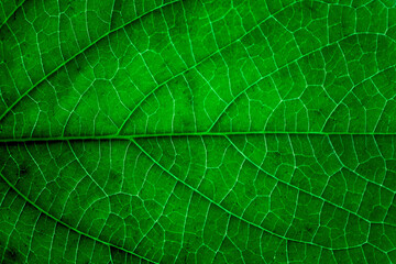 Wall Mural - abstract green leaf texture, closeup nature background