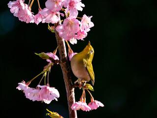 メジロと桜(河津桜)