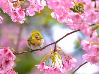 河津桜とメジロのお尻