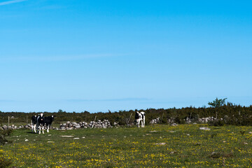 Cattle in a colorful grassland
