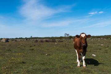 Brown cow standing in a colorful grassland