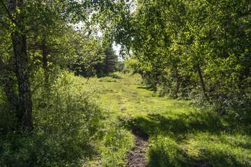 Cattle path in a lush foliage