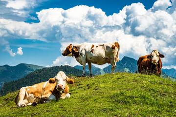 Wall Mural - cow at the kranzhorn mountain in austria