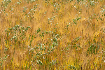 Ripe cornfield, a mix of barley and oats on a warm summer day in Franconia, Bavaria, Germany
