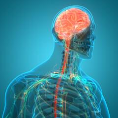 Central Organ of Human Nervous System Brain Anatomy