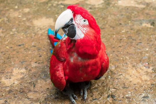 Scarlet macaw (Ara macao) looking at the camera at the Bird Park, popular tourist destination near the Iguazu Falls (Foz do Iguacu, Brazil)