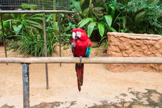 Scarlet macaw (Ara macao) at the Bird Park, popular tourist destination near the Iguazu Falls (Foz do Iguacu, Brazil)