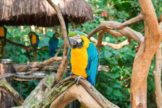 Blue-and-yellow macaw (Ara ararauna) at the Bird Park, popular tourist destination near the Iguazu Falls (Foz do Iguacu, Brazil)