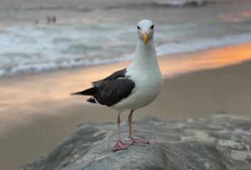 Laguna Beach seagull