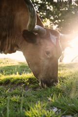 Wall Mural - Texas Longhorn cow grazing on grass during summer farm sunset closeup.