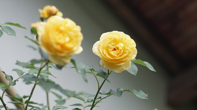 Closeup shot of beautiful yellow garden roses with long stems and thorns