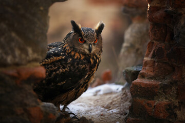 Foto op Canvas Uil A big brown eared owl sits on an ancient stone wall. Bubo bubo, close up. Eurasian eagle-owl