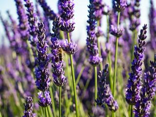 Wall Murals Lavender gros plan sur les fleur de lavande et abeille