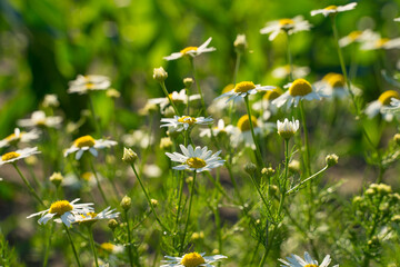 Medicinal chamomile officinalis plant growing in a field.