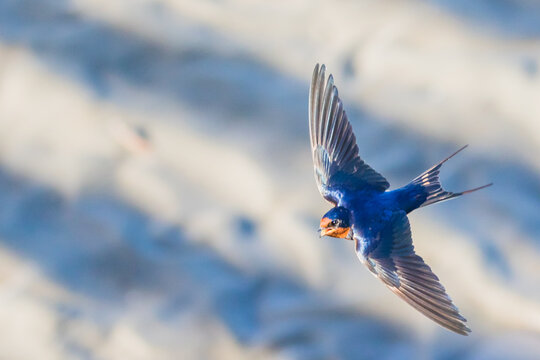 Barn Swallow Sings Out as it Flies By