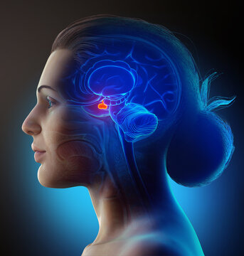 3d rendering medical illustration of a female Brain anatomy PITUITARY GLAND - cross section