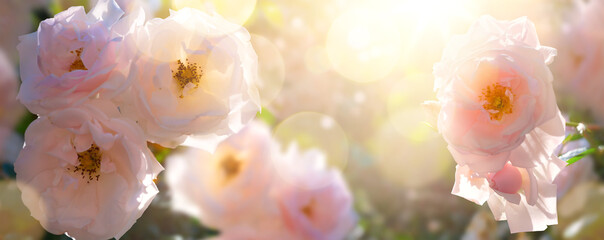 Summer garden landscape; beautiful summer flower against sunny sky; nature landscape background. Garden flower.