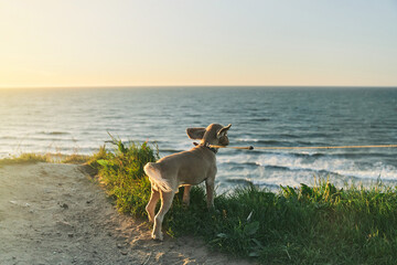 The dog admires the sunset from the cliff. Baltic Sea. Kaliningrad region.