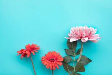 Flower on blue background with copy space.Flat lay.feminine concepts design