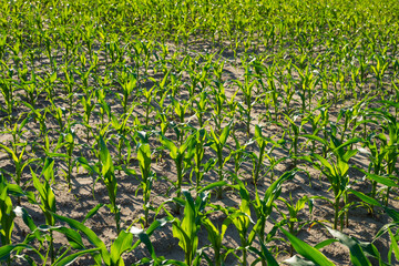 Corn field treated with chemicals for the destruction of weeds.