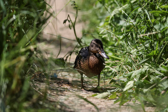 A view shows a duck affected by an oil spill in Moscow Region