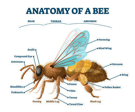Anatomy of bee educational labeled body structure scheme vector illustration