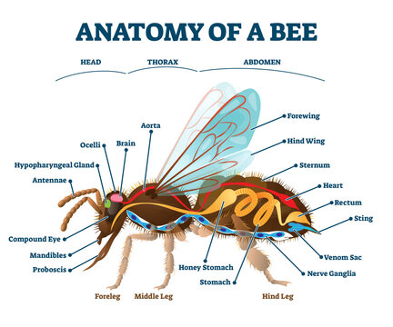 Anatomy of bee with inner organs educational scheme vector illustration.