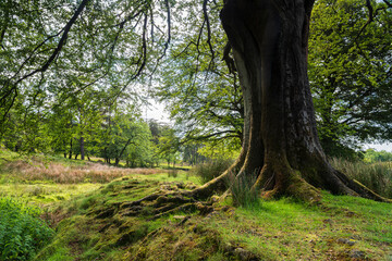 A summer image of a large Beech tree, Fagus, in the Trough of Bowland. An area of outstanding natural beauty in Lancashire, England.