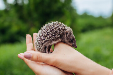 Hedgehog lying in hands. Woman holding small hedgehog baby in park outdoors. Walking with pet