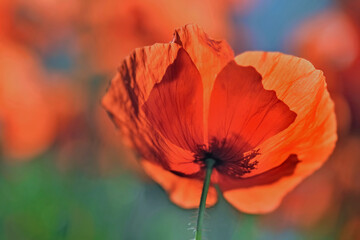 Tuinposter Bloemen close on beautiful bright and red poppies flowers blooming in a meadow