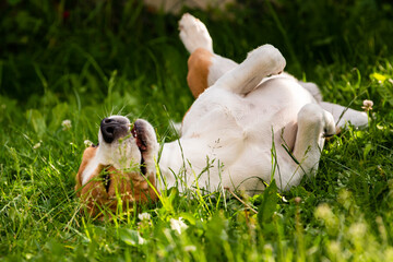 Tricolor beagle dog Rolling In Grass on summer day.