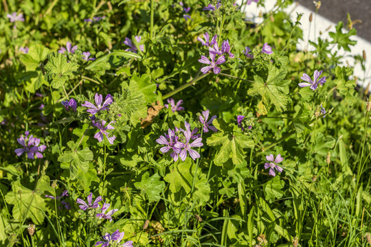 Malva neglecta flowering bush also known as common mallow and also cheeseplant or cheeseweed