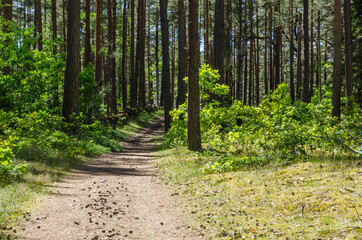 Path in a green pine tree forest