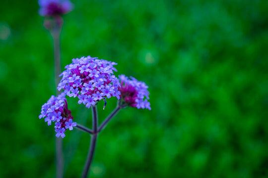 purple flowers of verbena in the garden